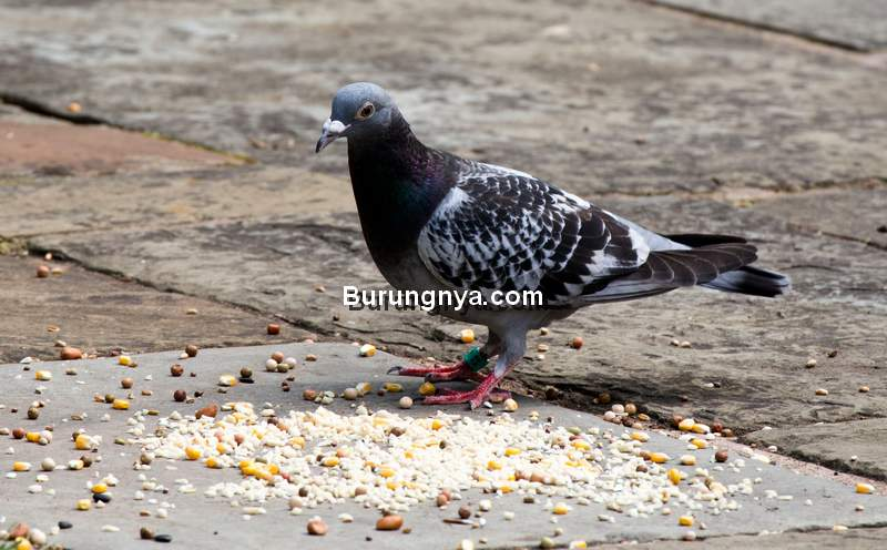 Makanan Burung Merpati Terbaik (rspb.org)