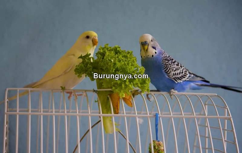 Racikan Pakan Burung Parkit (emborapets.com)