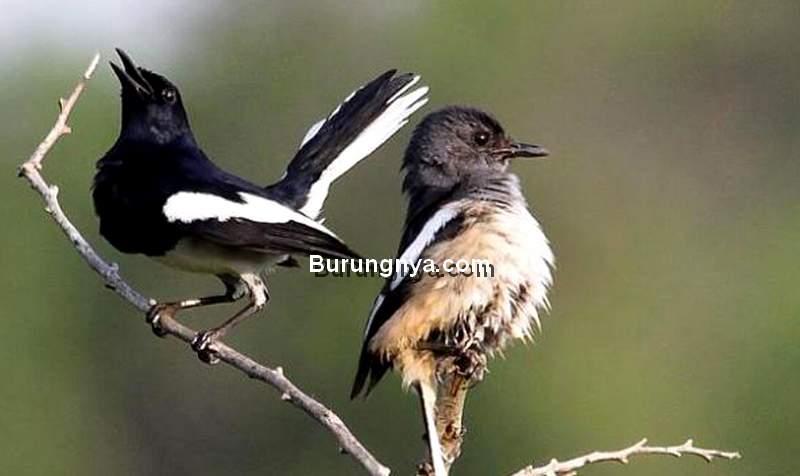 Terapi Burung Kacer Malas Bunyi (faktualnews.co)