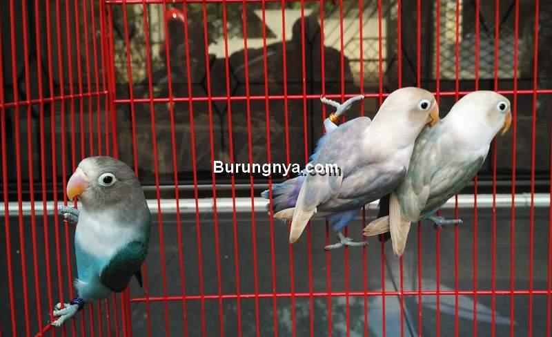 Tips Jual Lovebird Cepat Laku dan Untung (blogspot.com)