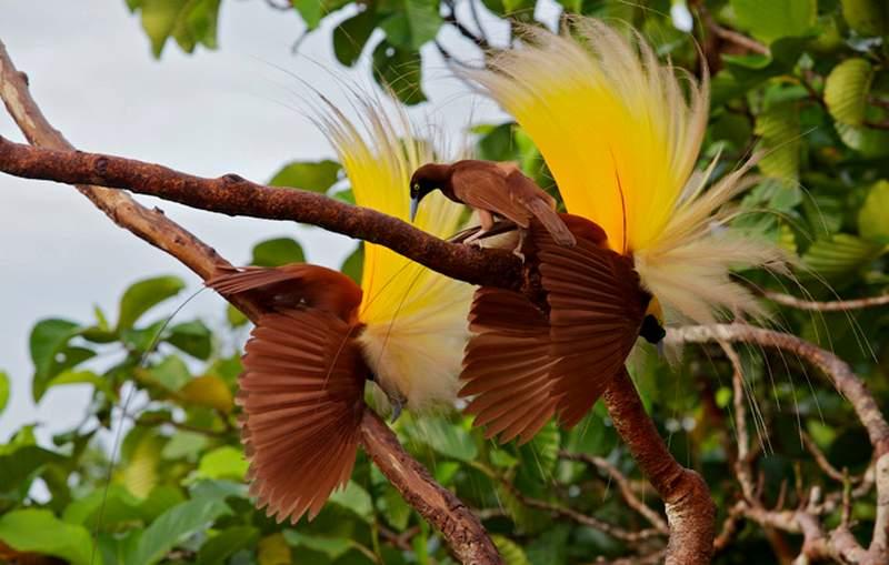 Akibat jika Burung Cenderawasih Punah (birdwatchingdaily.com)