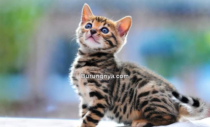 Bengal (lapleopardbengals.com)