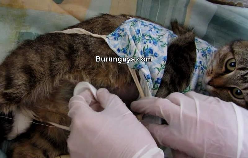 Biaya Kebiri Kucing Jantan (youtube.com)
