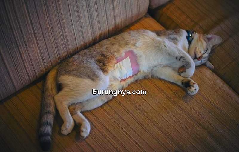 Biaya Kebiri Kucing dan Sterilisasi Kucing Betina (animalwised.com)