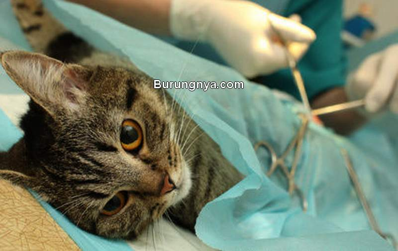 Biaya Sterilisasi Kucing (vetfamily.ru)