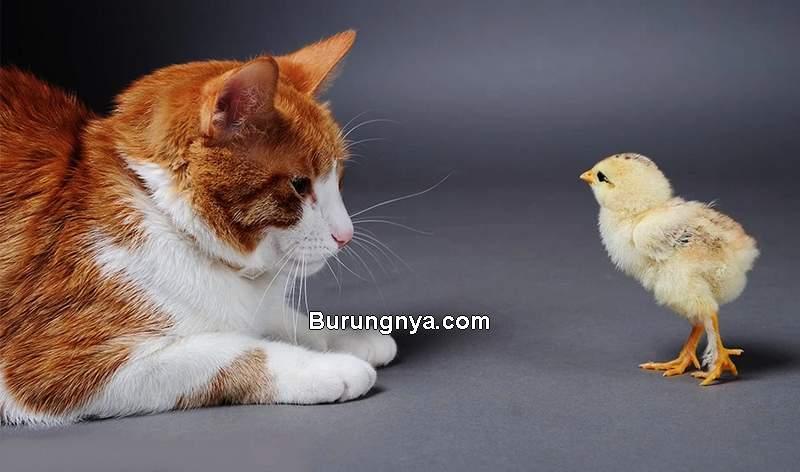 Bolehkah Kucing Makan Daging Ayam (backyardchickencoops.com)