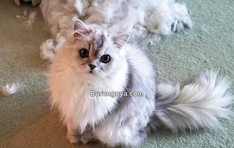 Bulu Kucing Rontok (cgsentinel.com)