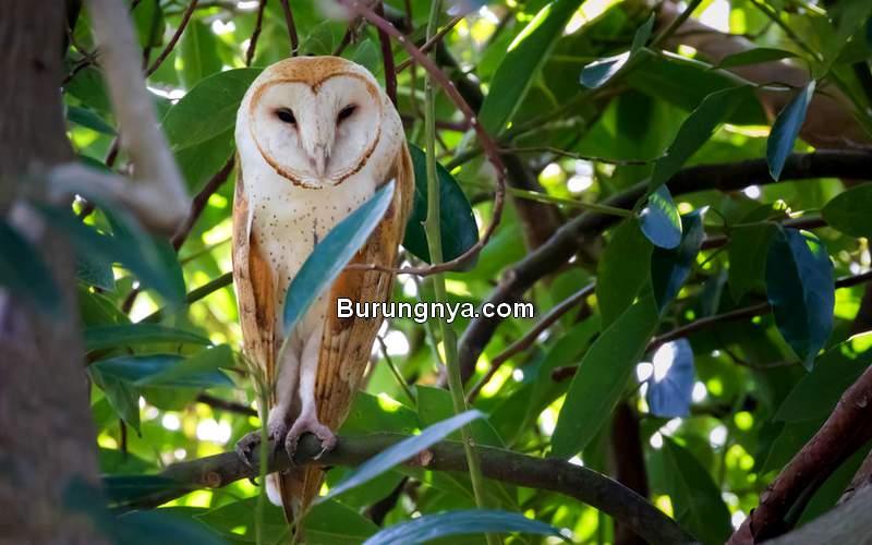 Burung Hantu yang Bisa Dipelihara di Rumah (jonathanguillot.com)