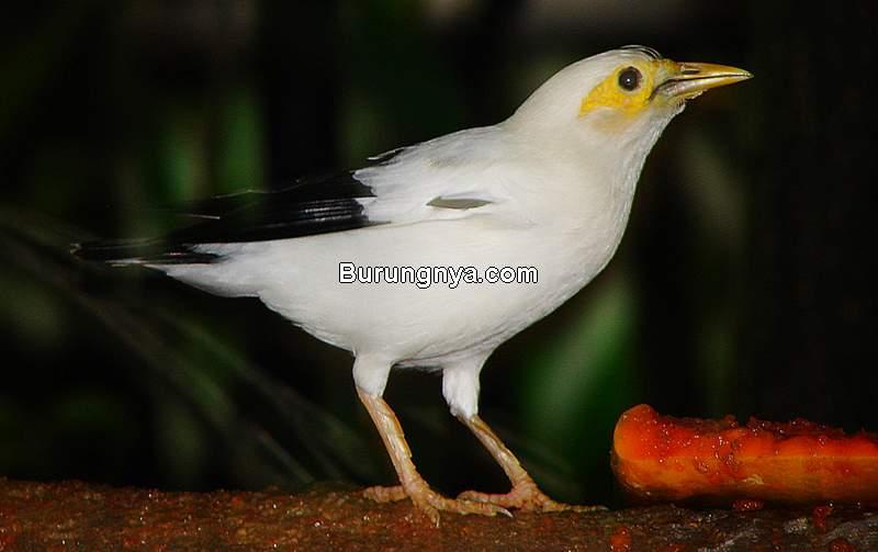 Burung Jalak Dilindungi (wikimedia.org)
