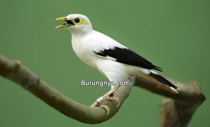 Burung Jalak Masuk Daftar Burung Dilindungi (pinterest.com)