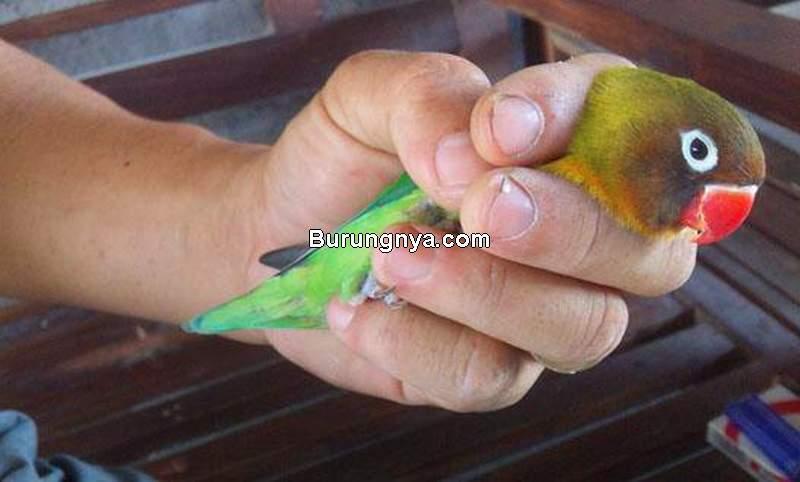 Cara Menangkap Burung Lovebird Bandangan Lepas (majalahburungpas.com)