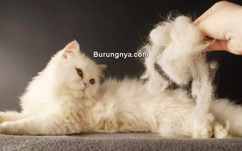 Cara Mengatasi Bulu Kucing Rontok (cattime.com)