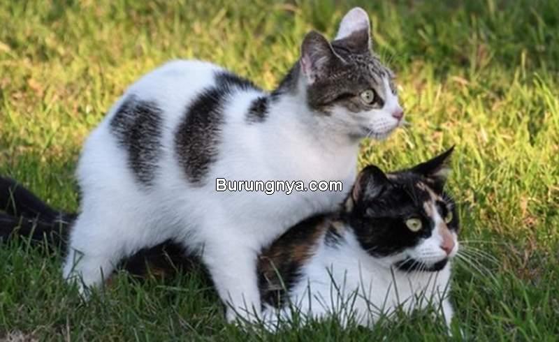 Cara Mengawinkan Kucing (petzooz.com)