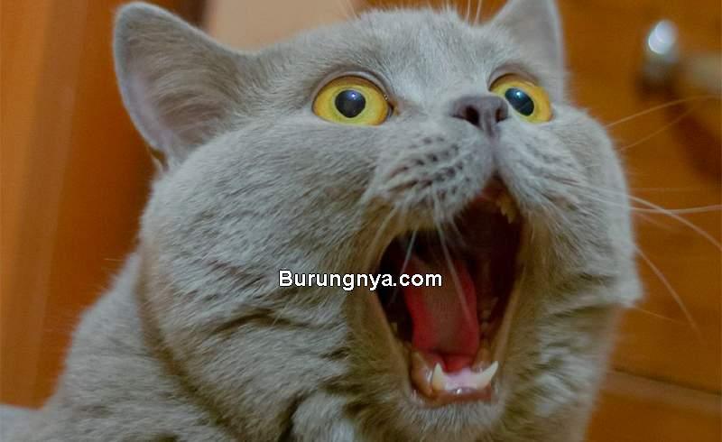 Cara Mengetahui Arti Suara Kucing (pinterest.com)