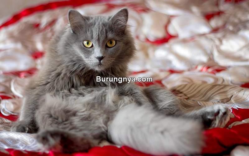 Cara Merawat Bulu Kucing Agar Tidak Rontok (animalwised.com)