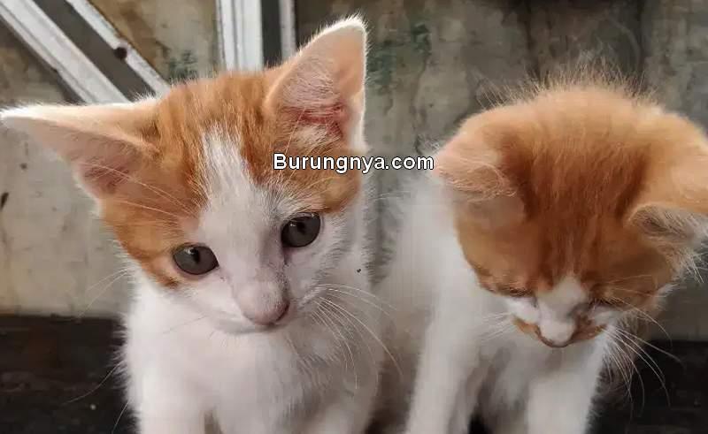 Cara Merawat Kucing Kampung (olx.co.id)