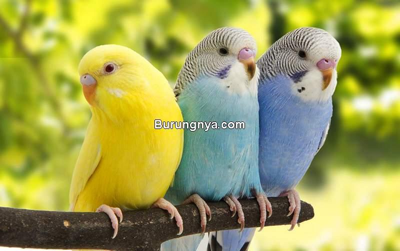 Cara Merawat Parkit untuk Pemula (exoticbirdstypes..com)