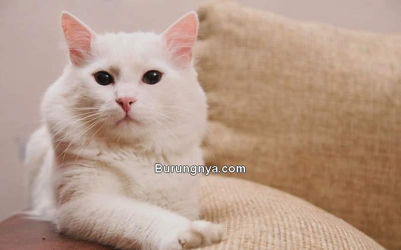 Daftar Harga Kucing Anggora Imut (kittywise.com)