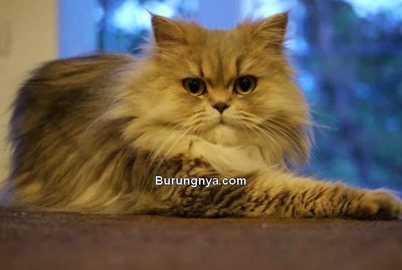 Fakta Kucing Persia (bioguard.com)