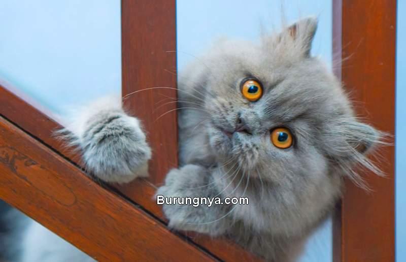 Fakta Menarik Kucing Persia (howstuffworks.com)