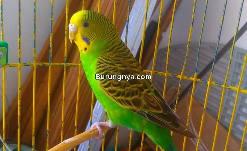 Harga Burung Parkit (tokopedia.com)