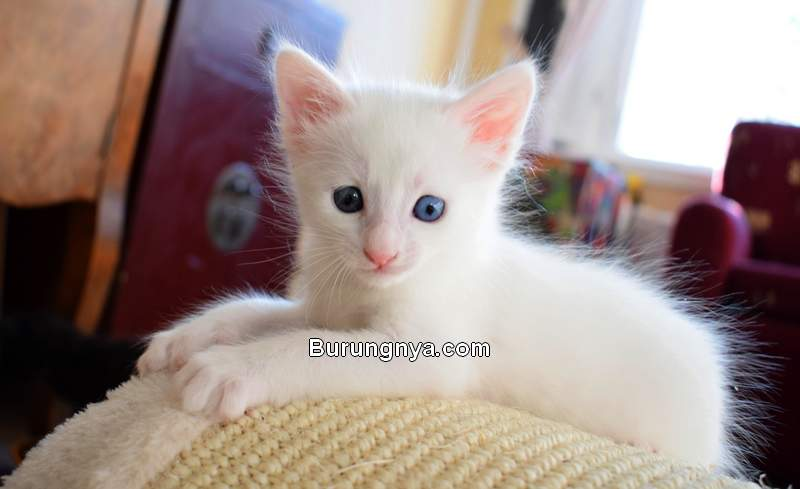 Harga Kucing Anggora Putih Kecil Usia 3 Bulan (reddit.com)