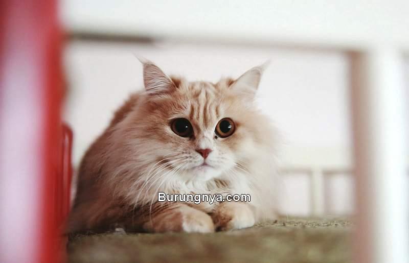Harga Kucing Anggora (lovetoknow.com)
