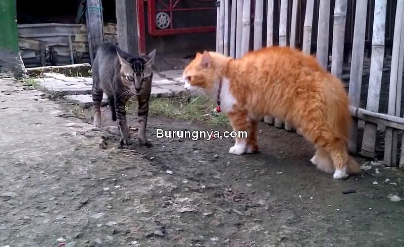 Jenis Kucing Kampung (youtube.com)
