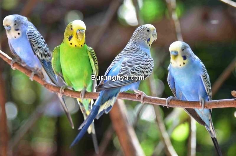 Jenis dan Harga Burung Parkit Terbaru (thesprucepets.com)