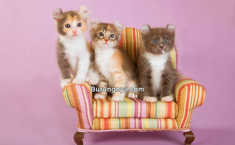 Kucing American Curl (mystart.com)