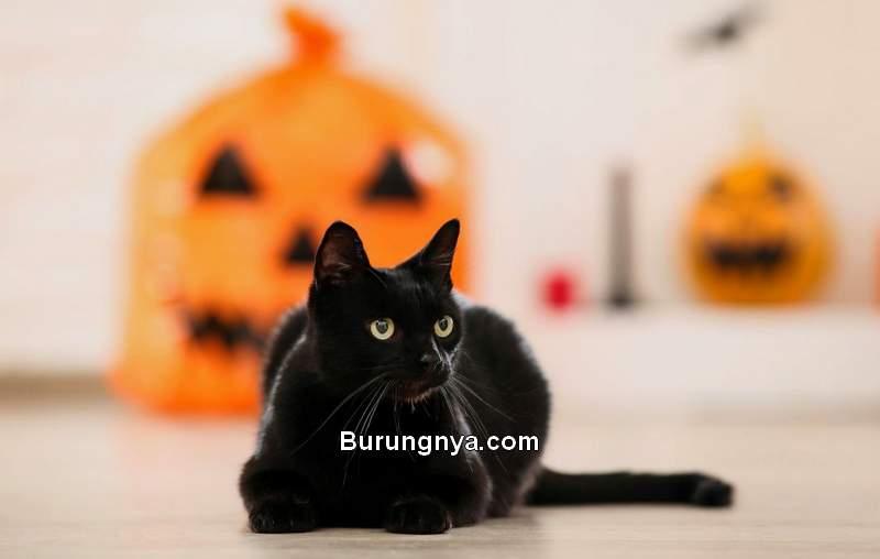 Kucing Hitam Mitos di Dunia dan Nama Kucing Hitam (cbs58.com)