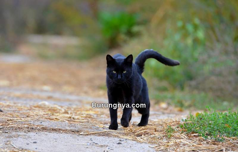 Kucing Kampung Hitam (readersdigest.co.uk)