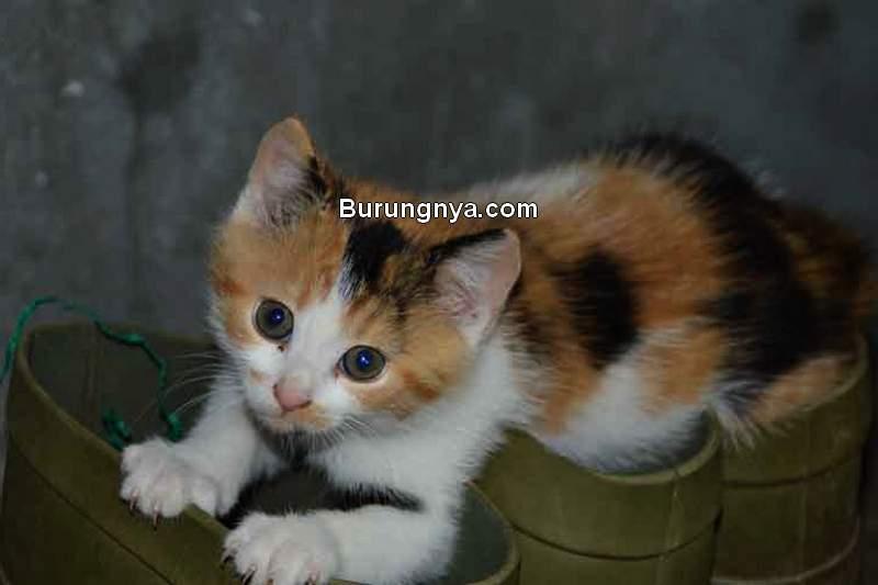 Kucing Kampung Lucu (hadikurniawan.com)