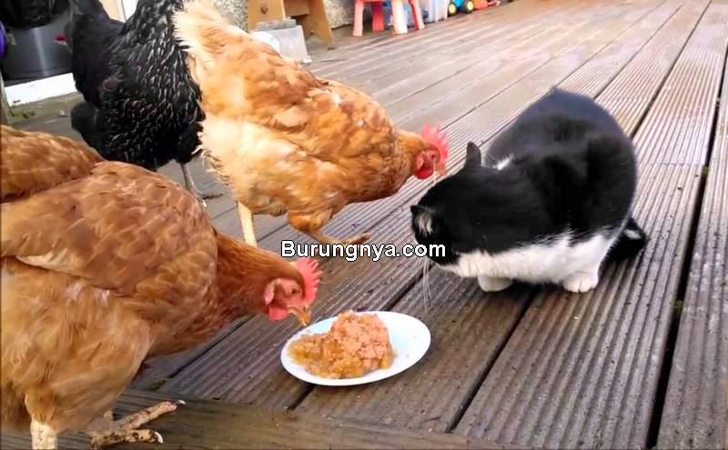 Kucing Makan Daging Ayam Boleh atau Tidak (youtube.com)