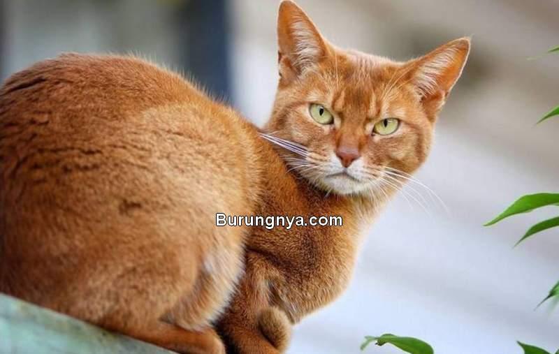 Kucing Oren Barbar (stuff.co)