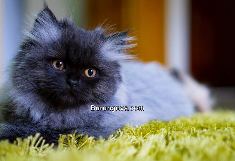 Kucing Persia Peaknose (thesprucepets.com)