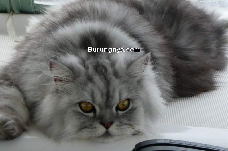 Kucing Persia (pinterest.com)