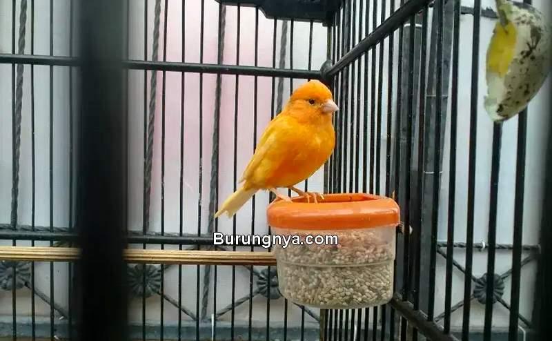 Makanan Burung Kenari di Musim Hujan (olx.co.id)