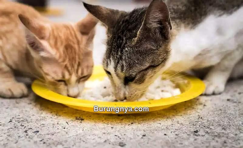 Makanan Kucing Kampung Jantan dan Betina (felineliving.net)