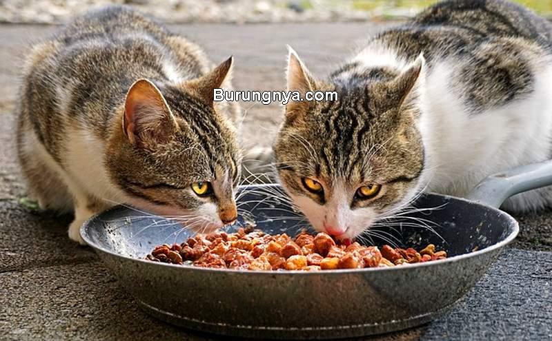 Makanan Kucing Kampung (tedas.id)