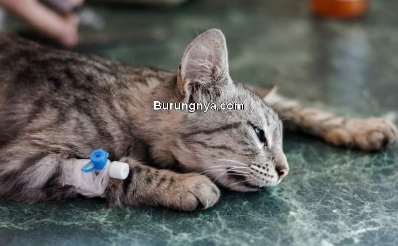 Manfaat Sterilisasi Kucing (catshospital.com)