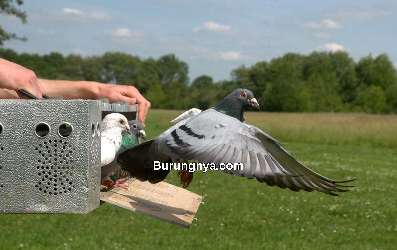 Merpati Balap Latihan Terbang Cepat (audubon.org)