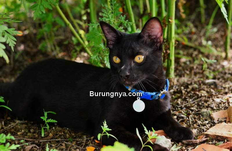 15 Mitos Kucing Hitam Di Seluruh Dunia Dan Nama Kucing Hitam Terkenal Burungnya Com