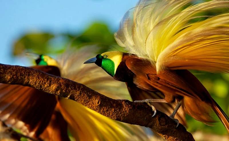 Penyebab Burung Cenderawasih Punah dan Akibatnya (balisafarimarinepark.com)