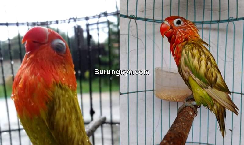Perawatan Burung Kehujanan dan Kedinginan (kicaungedur.blogspot.com)