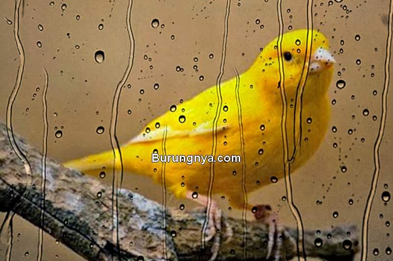 Perawatan Kenari di Musim Hujan (Kicaugedong.blogspot.com)