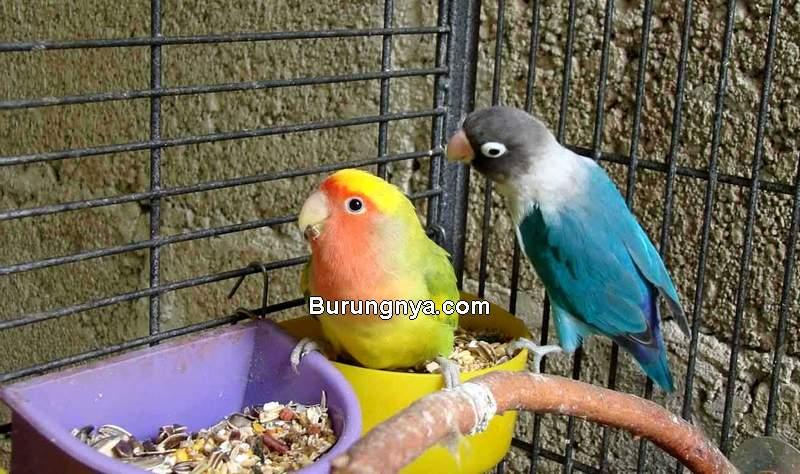 Ramuan Pakan Lovebird Ngekek Panjang (hewany.com)