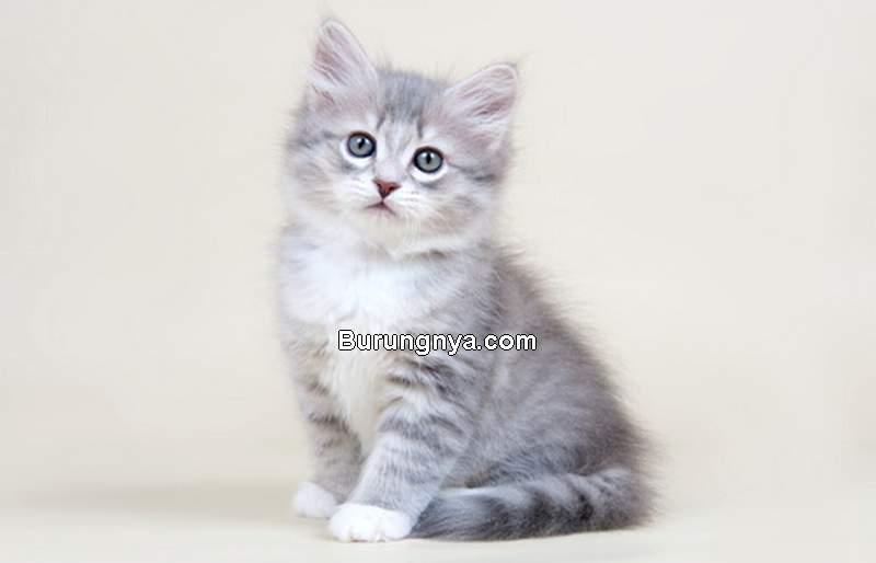 Siberian (allaboutcats.com)