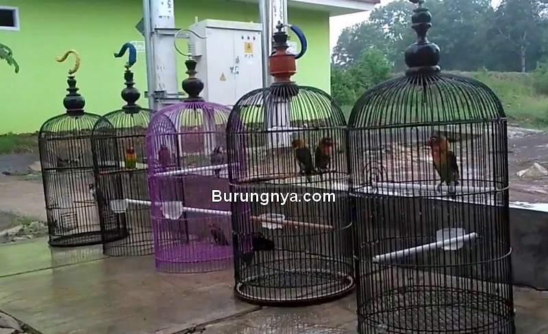 Terapi Lovebird Mandi Air Hujan yang Benar (youtube.com)