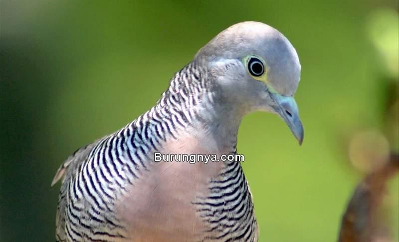 Asal Usul Burung Perkutut dan Sejarah Perkutut Majapahit (torontozoo.com)